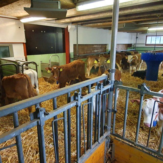 Engraissement de taureaux
